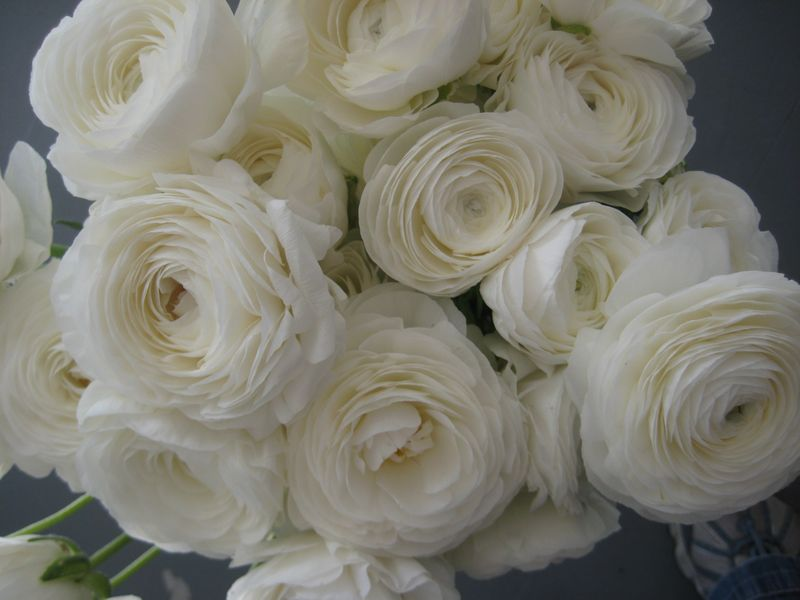 Just bloomed flower blog fluffy white ranunculus run mightylinksfo